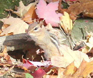 Chipmunk freed, now fights and frolics